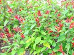 Ananassalbei pflanzen