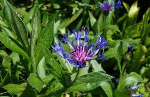 Berg-Flockenblume pflegen