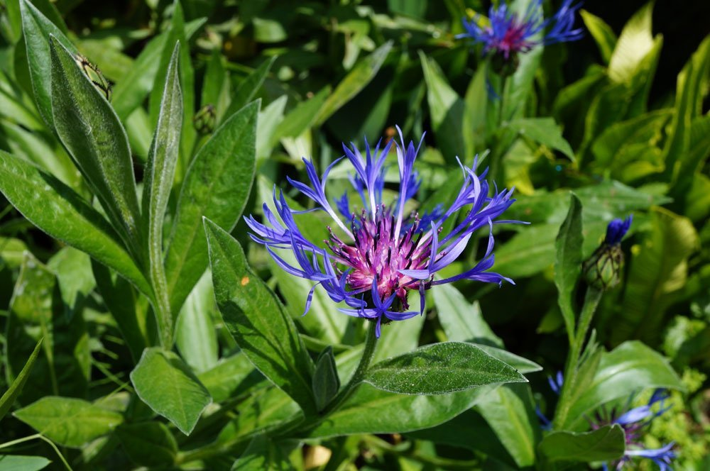 Berg-Flockenblume Krankheiten