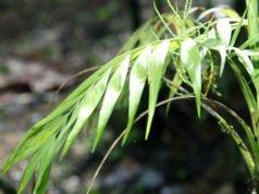 Bergpalme: Krankheiten udn Schädlinge erkennen und bekämpfen