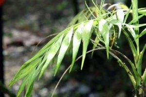 Bergpalme: Krankheiten und Schädlinge erkennen und bekämpfen