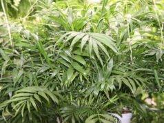 Bergpalme pflanzen - Tipps zu Standort und Boden
