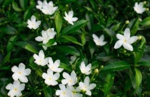 Gardenien vermehren - So gelingt's
