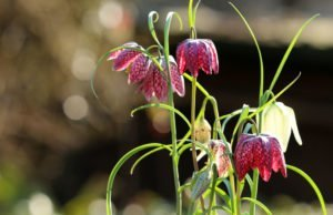 Schachbrettblume im Topf halten