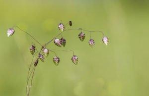 Zittergras vermehren