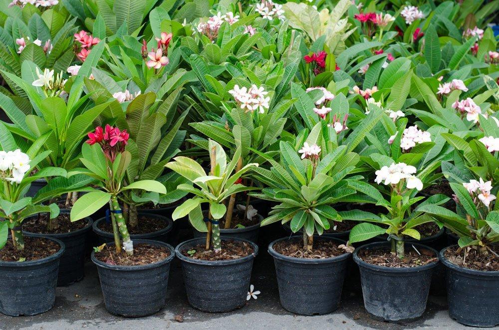 Frangipani vermehren Jungpflanzen