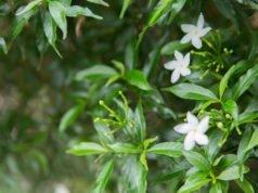 Gardenie: Krankheiten und Schädlinge erkennen und bekämpfen