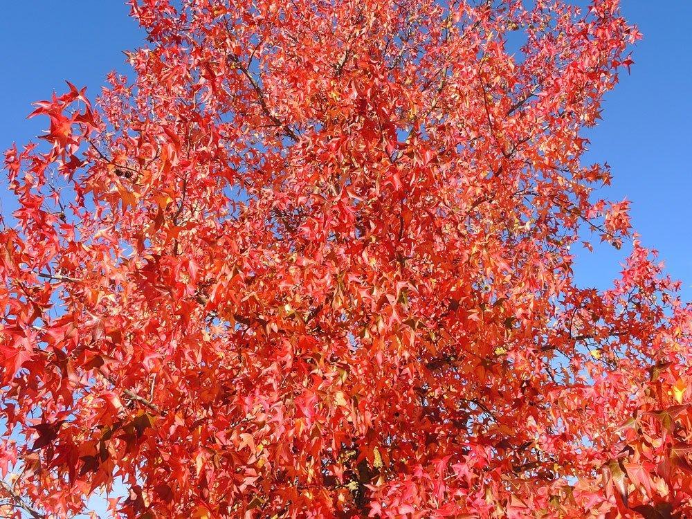 Amerbbaum bunte Blätter Herbstlaub