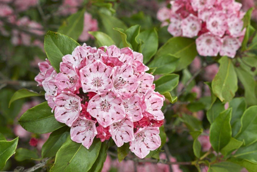 Berglorbeer Blüte