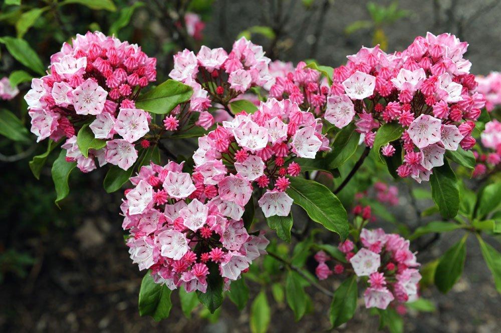 Berglorbeer - Pflanzen, pflegen und überwintern