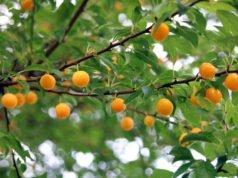 Edelpflaume pflanzen - Alles zu Standort und Boden