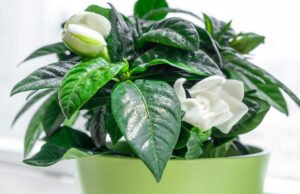 Gardenie pflanzen