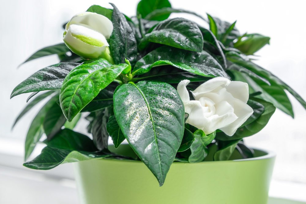 Gardenie pflanzen – Alles rund um Standort, Substrat & Pflanzung