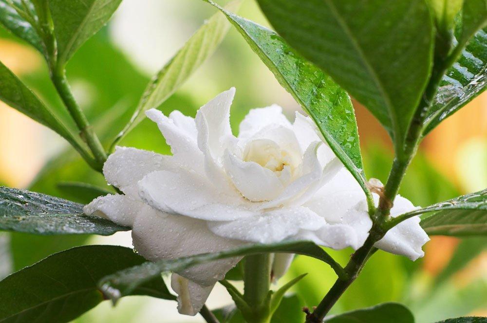 Gardenie umtopfen