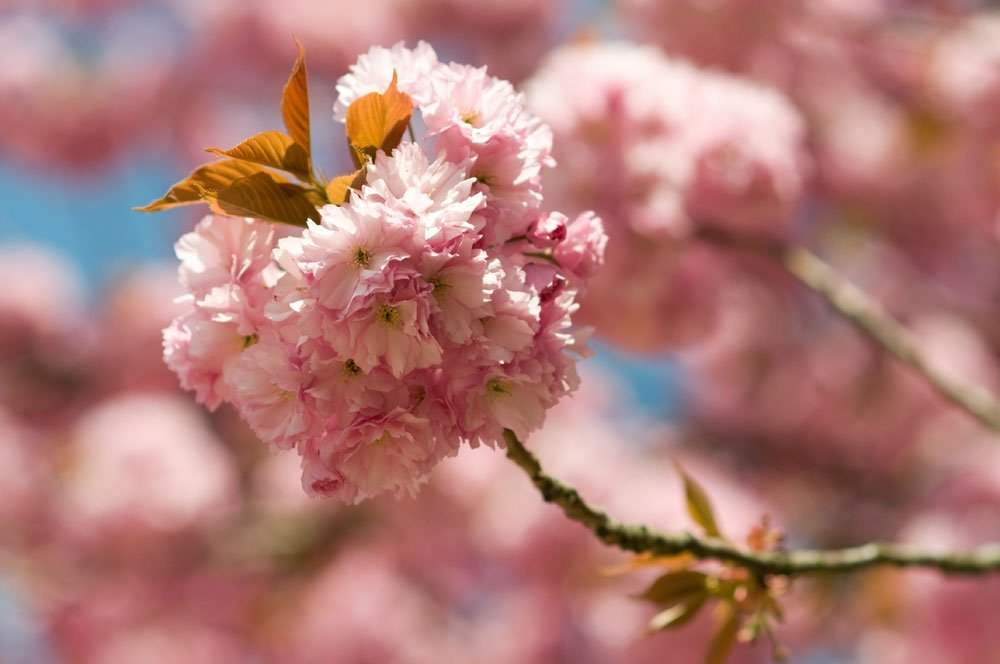 Japanische Nelkenzierkirsche Blüte