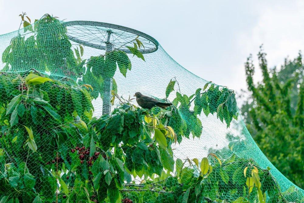 Kirschfruchtfliege Insektennetz