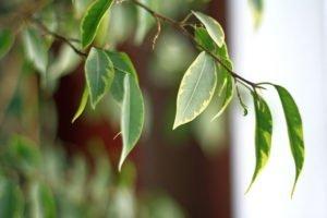 Kletterfeige pflanzen - Standort und Boden