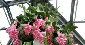 Medinille Medinilla pflanzen