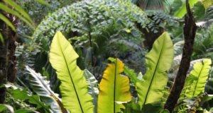Nestfarn: Krankheiten und Schädlinger erkennen und bekämpfen