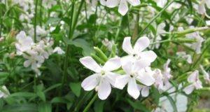 Seifenkraut: 5 schöne Sorten für den heimishcen Garten