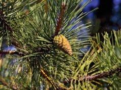 Streichelkiefer: Pflanzen, pflegen, Rückschnitt und vermehren