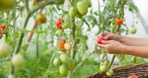 Tomoffel pflanzen - Tipps zu Standort und Boden