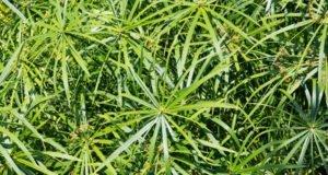 Zyperngras vermehren