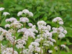 Baldrian pflegen - So gießen, düngen und überwintern Sie die Pflanze richtig