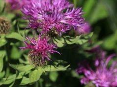 Berg-Flockenblume vermehren