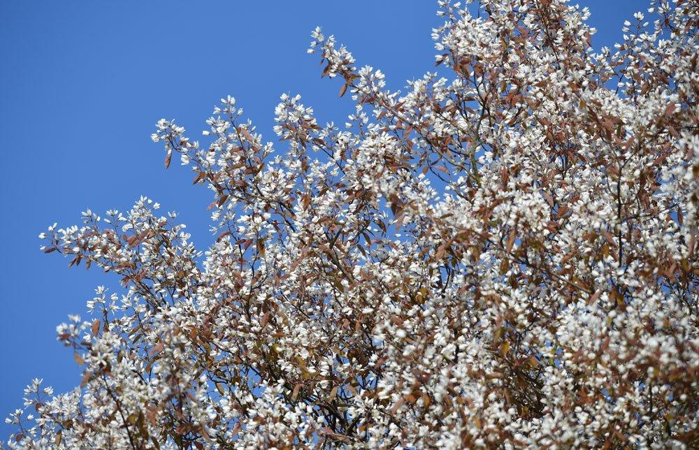 Felsenbirne - Rosinen-Baum