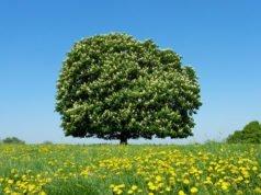 Kastanie gießen und düngen - So wird's gemacht
