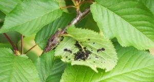 Kirschbaum Blattläuse