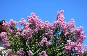 Kreppmyrte vermehren - So klappt's mit Samen und Stecklingen