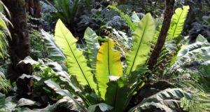 Nestfarn vermehren - So klappt's mit Sporen