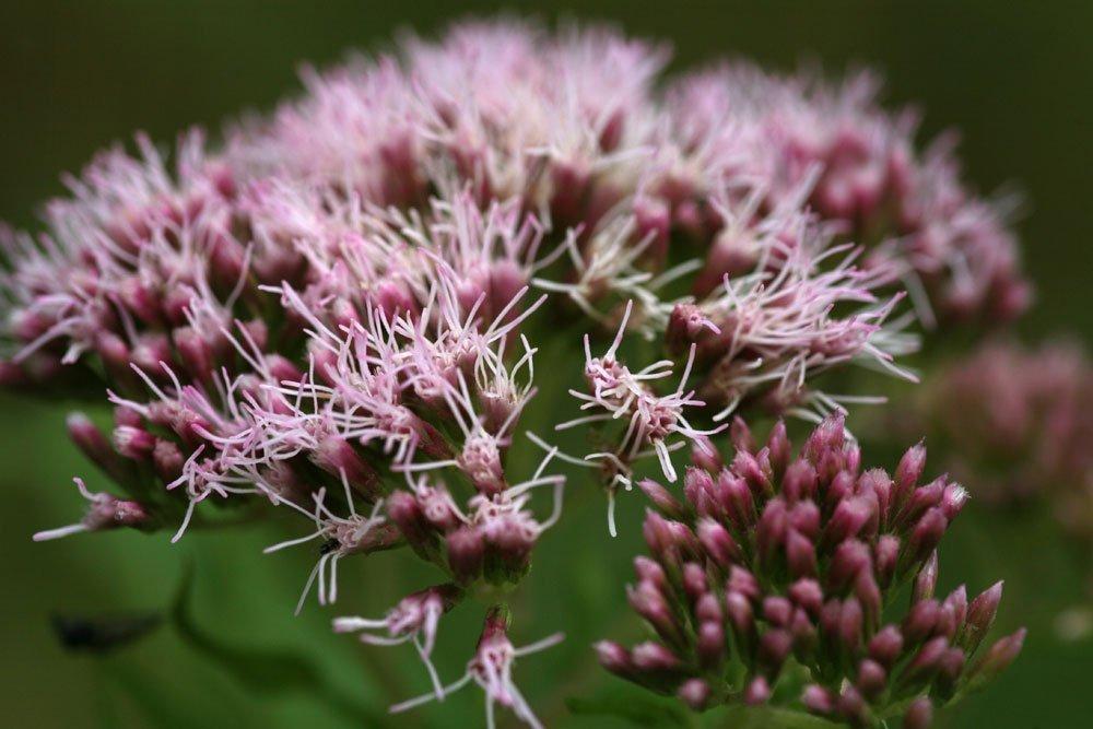 Wasserdost-Blüten