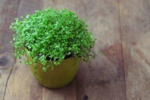 Bubikopf pflanzen