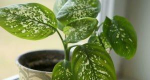 Dieffenbachie pflanzen