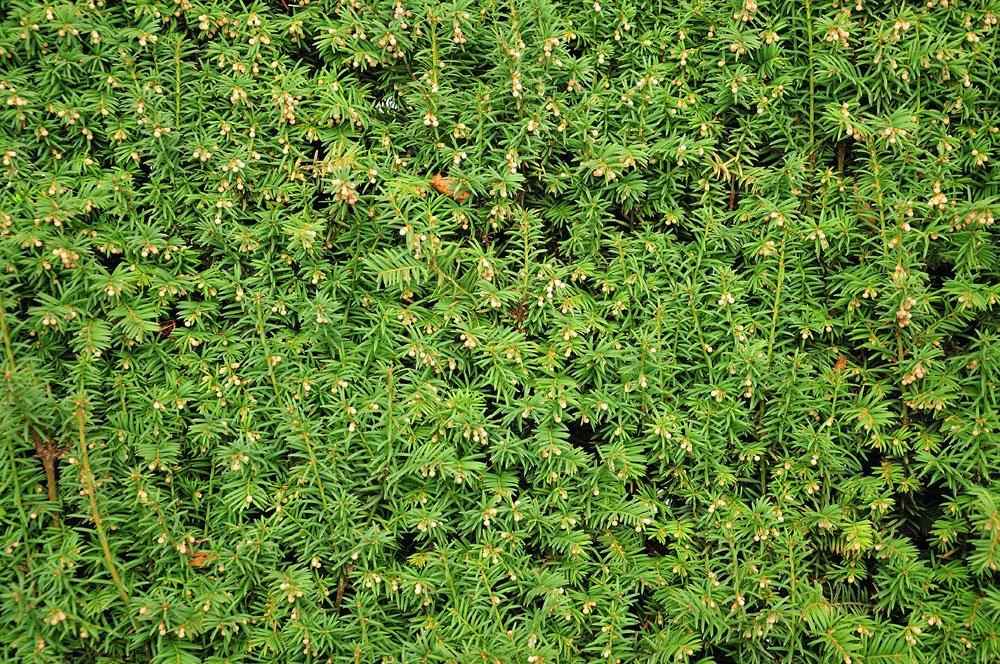 Tafeleibe pflanzen