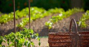 Tomoffel pflanzen