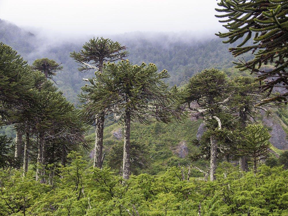 Die Chilenische Schmucktanne in ihrem natürlichen Lebensraum