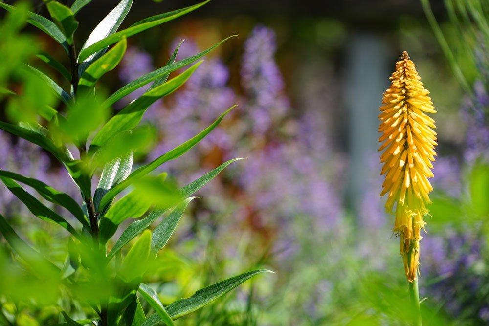 Steppenkerzen - 10 beliebte Sorten im Überblick