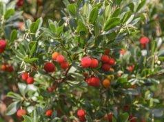 Erdbeerbaum pflanzen