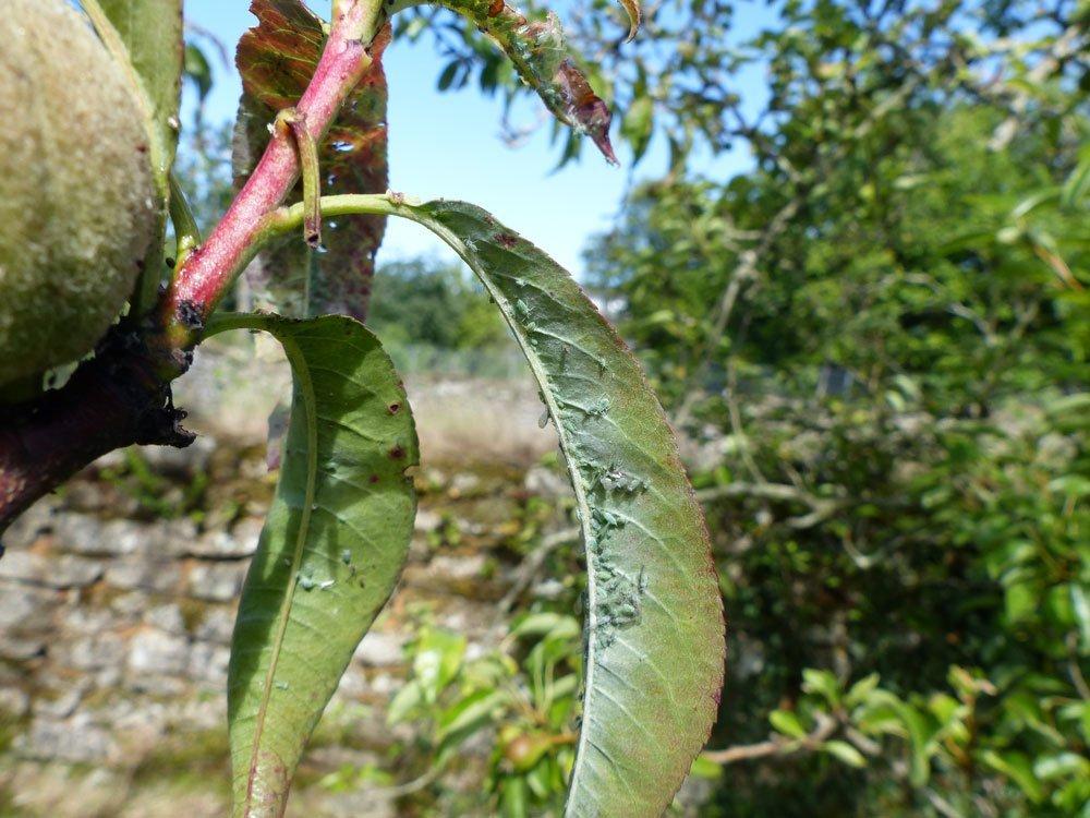 Große Pfirsichblattlaus