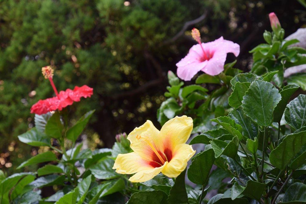 Hibiscus Tricolor