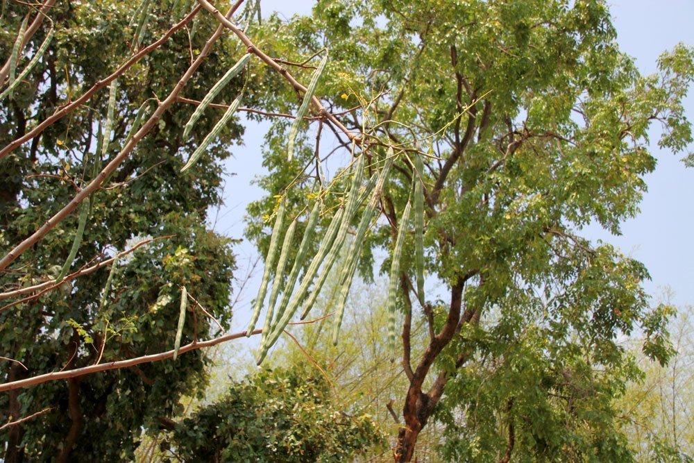 Meerettichbaum pflanzen