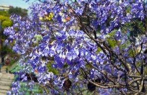 Palisanderbaum pflanzen