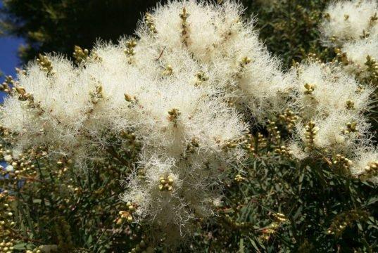 Australischen Teebaum pflanzen