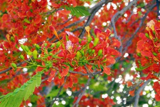 Flammenbaum pflanzen