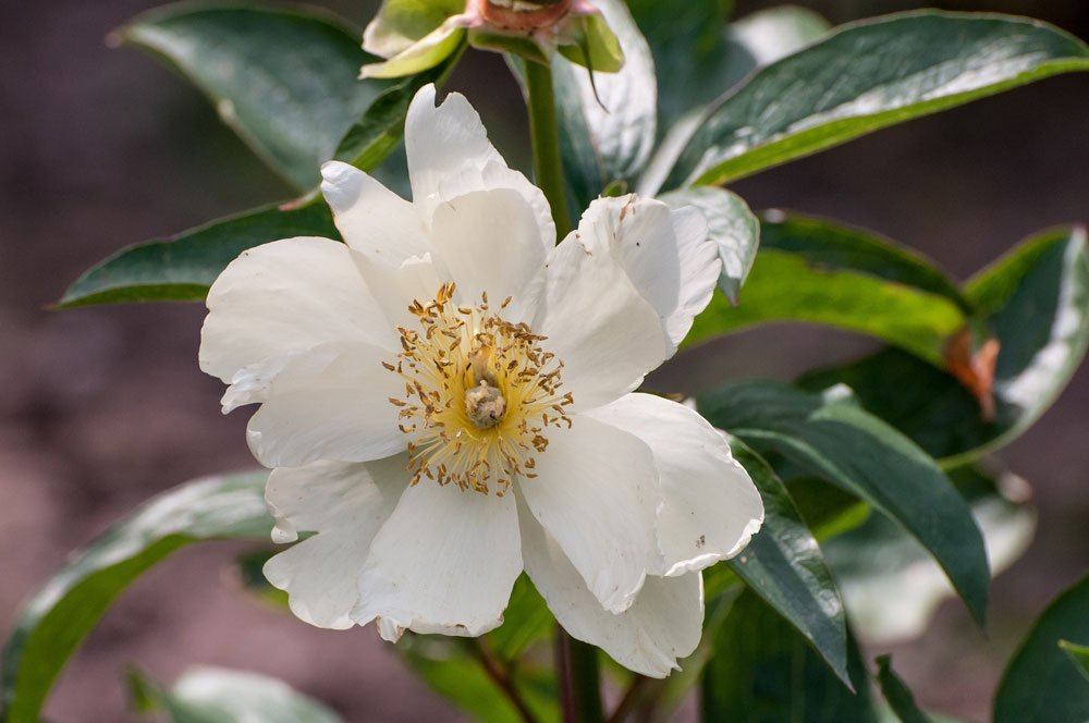 Giftige Sommerblumen - Christrose