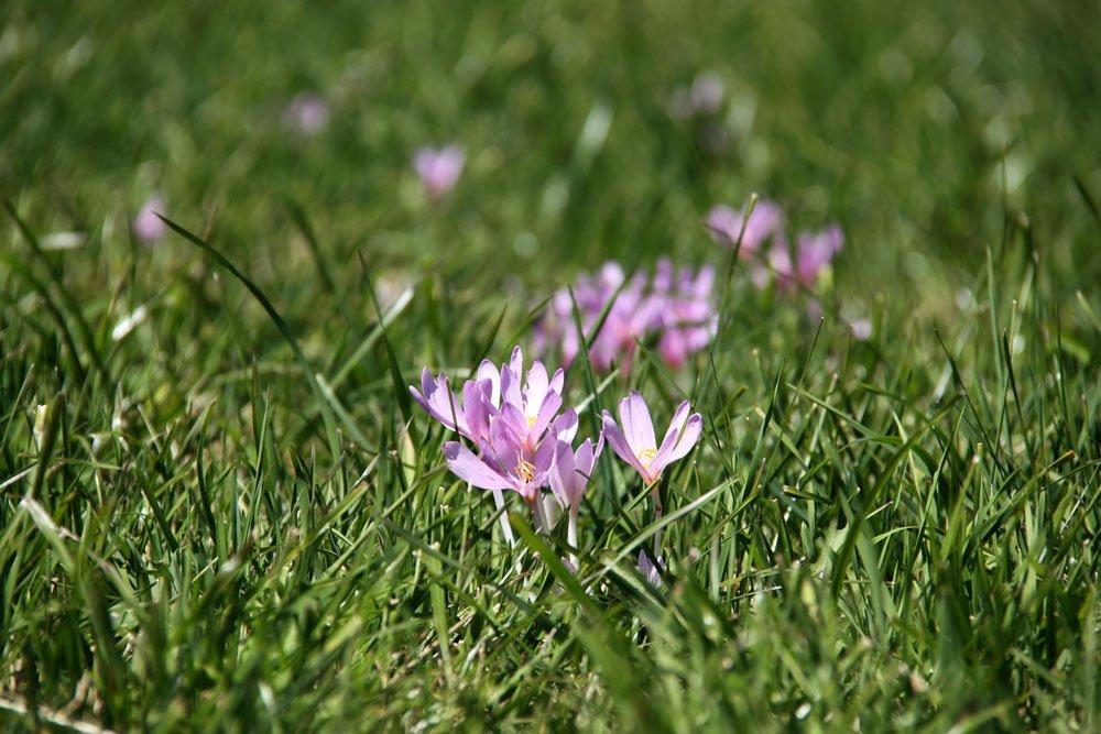 Giftige Sommerblumen - Herbstzeitlose